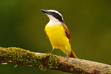Yellow Bird From Costa Rica. Great Kiskadee, Pitangus Sulphuratus, Brown And Yellow Tropic Tanager With Dark Green Forest In The Background, Nature Habitat, Costa Rica. Wildlife Scene From Nature.