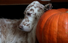 Picturesque Bright Dog Portrait, Spotty English Setter And Orange Pumpkin Close Up, Holiday Texture