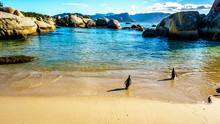 Penguins At Boulders Beach Heading To The Ocean. Boulder Beach Is A Popular Nature Reserve And Home To A Colony Of African Penguins, In The Village Of Simons Town In The Cape Peninsula Of South Africa
