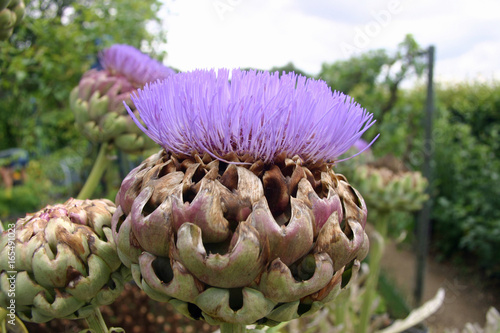 Fototapeta Artichoke or cardoon flower