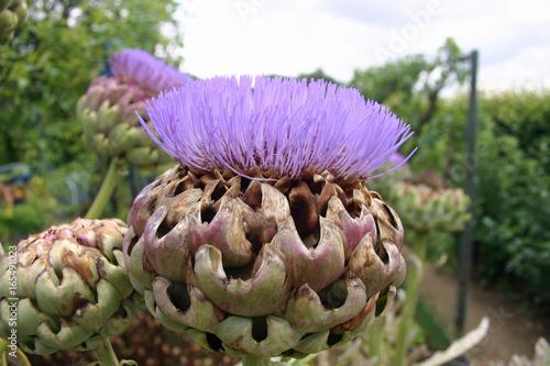 Artichoke or cardoon flower Fototapeta