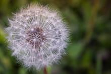 Dandelion Seedhead Closeup
