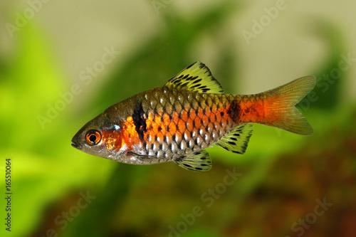 Odessa Barb Pethia Padamya Freshwater Aquarium Fish Buy This Stock