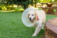 Dog With  Elizabethan Collar, Dog Cone After Surgery