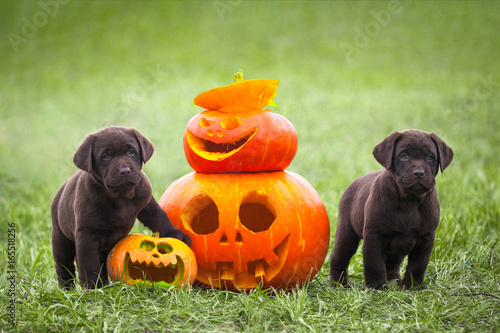 Fotografia  Labrador puppies stand next to a pumpkin, Halloween