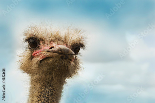 Stickers pour porte Autruche ostrich bird head and neck front portrait