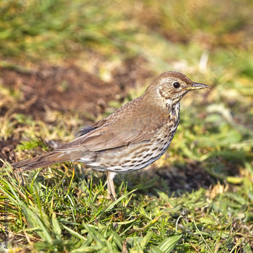 Fotografía  Song Thrush (Turdus philomelos) in evening light, Carreg Dhu Gardens, St Mary's, Isles of Scilly, England, UK