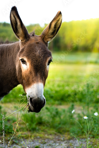 Keuken foto achterwand Ezel Portrait of a brown donkey outside in the field