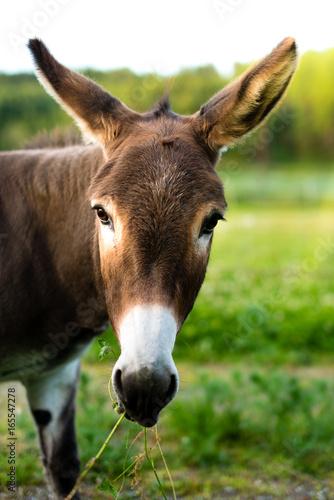 Deurstickers Ezel Portrait of a brown donkey outside in the field