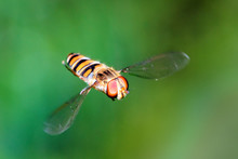 Beautiful Hoverfly (or Flower Fly, Sweat Bee Or Syrphid Fly) In Mid-air Against A Green Background