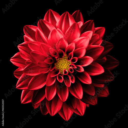 Poster de jardin Dahlia Surreal dark chrome red flower dahlia macro isolated on black