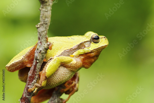 Tuinposter Kikker tree frog climbing on twig