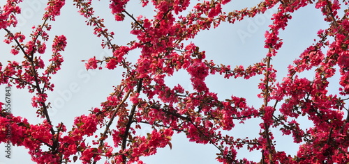 Staande foto Bordeaux Spring Branch of a Blossoming Plum Tree with Pink Flowers and Blue Sky