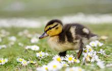 Cute Fluffy Mallard Duckling (Anas Platyrhynchos)  Wondering Through Spring Daisies