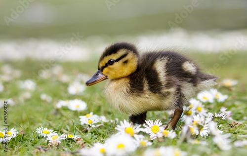 Cute fluffy Mallard duckling (Anas platyrhynchos)  wondering through spring dais Canvas Print