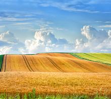 Golden Wheat Field In Furano Summer Seasonal ,Hokkaido In Japan