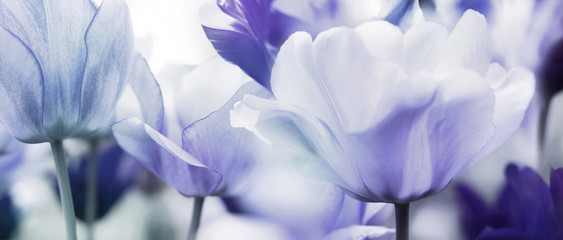 Obraz na Szkletinted tulips concept
