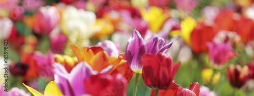 tulpen farben bunt banner