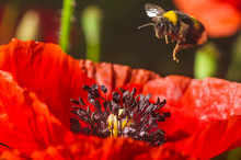 Bumblebee Flies To A Flower Of...