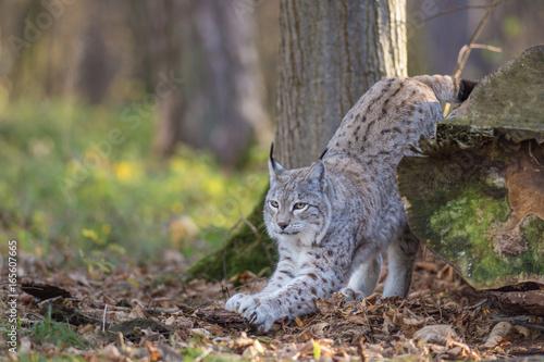 Fotografie, Obraz  Lynx