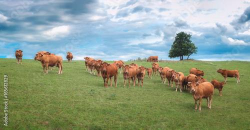Poster de jardin Vache Herd of cows - Troupeau de vaches
