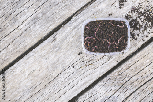 Red worms Dendrobena in a box in manure, earthworm live bait for fishing on wooden surface, Fishing concept.