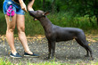 woman gives a command to her Mexican Hairless Dog. Dog training.