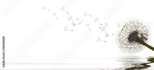 Foto op Plexiglas Magnolia Schöne Pusteblume freigestellt