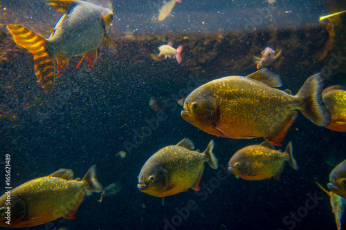 Valokuva  Red Piranha originative from the Ecuadorian Rainforest in south america, at Aqua