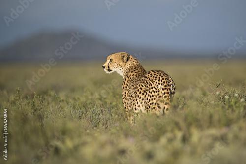 Poster Leopard Animal