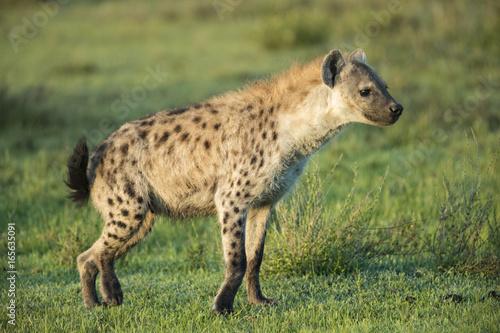 Foto op Plexiglas Hyena iena