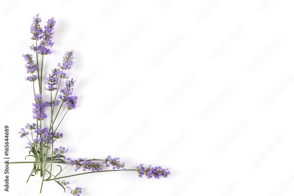 Fototapety, obrazy: Lavender plant on white background