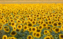 Sunflowers Field Near Arles  I...