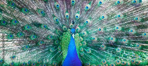 Foto op Aluminium Pauw The peacock opened his tail