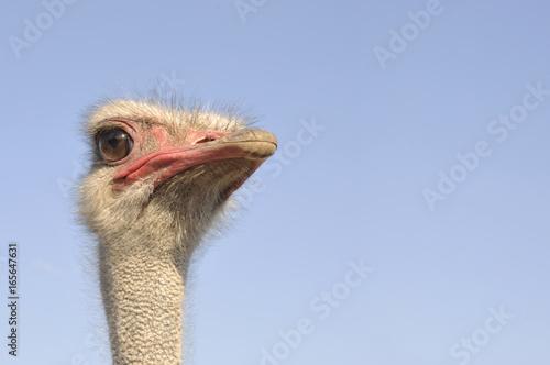 Staande foto Struisvogel Ostrich and blue sky