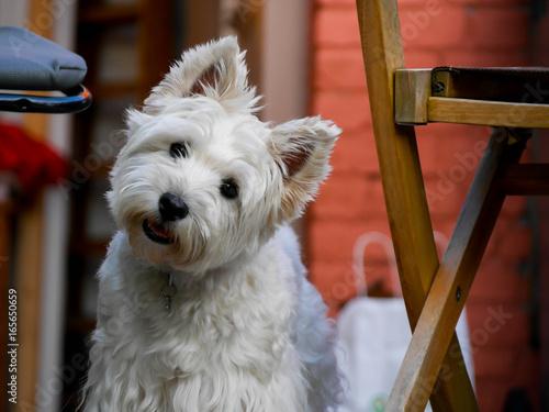 Fototapeta west highland white terrier obraz