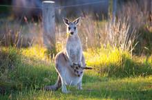 Kangaroo And Joey 2