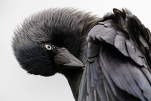 Close-up Portrait Of A Preening Jackdaw (Corvus Monedula) On White Background