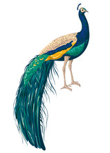 Peacock On White Background. H...