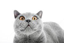 British Shorthair Cat Isolated...