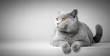 Fototapeta Koty - British Shorthair cat lying on white table. Copy-space
