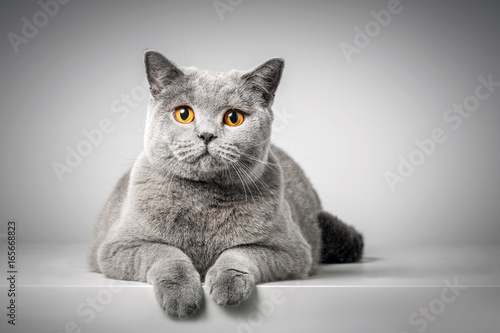 British Shorthair cat lying on white table