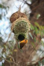 Weaver, Bright African Bird Building His Nest