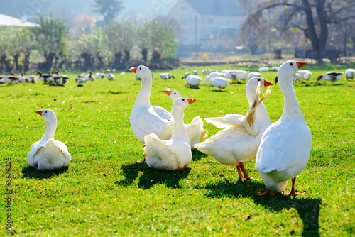 The herd of white adult geese grazing at the countryside on the farm on a green grove