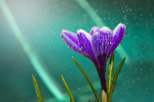 Beautiful Purple Flower, Close-up, Under The Rain, Beautiful Crocus With Drops Of Dew
