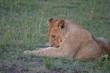 Lion in Maasai Mara, Kenya, Africa