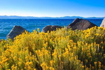 Yellow Sagebrush flowers by the Lake Tahoe