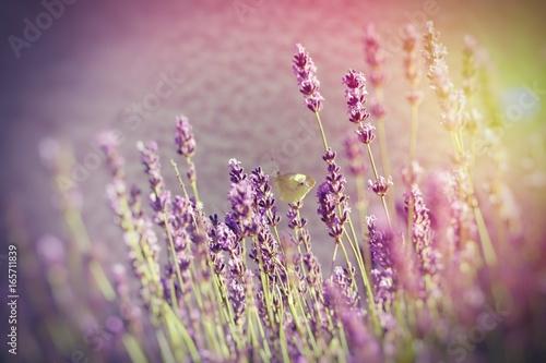 Spoed Foto op Canvas Lavendel Butterfly on lavender flower - selective focus on butterfly on lavender lit by sunlight
