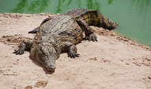 A Nile Crocodile On A Shore Of A Lake