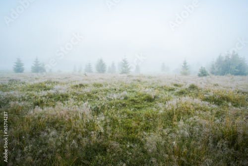 Poster Kaki Green meadow in morning dew and young firtrees in dense fog